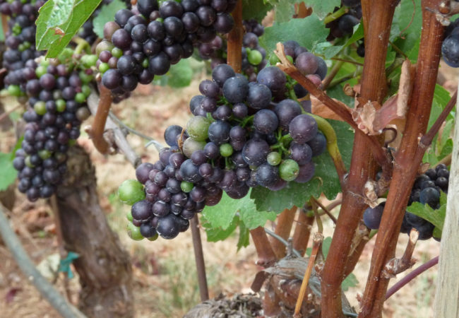 """""""Pinot Noir Grapes in the Willamette Valley"""" flickr photo by Ethan Prater https://flickr.com/photos/eprater/3899908686 shared under a Creative Commons (BY) license"""